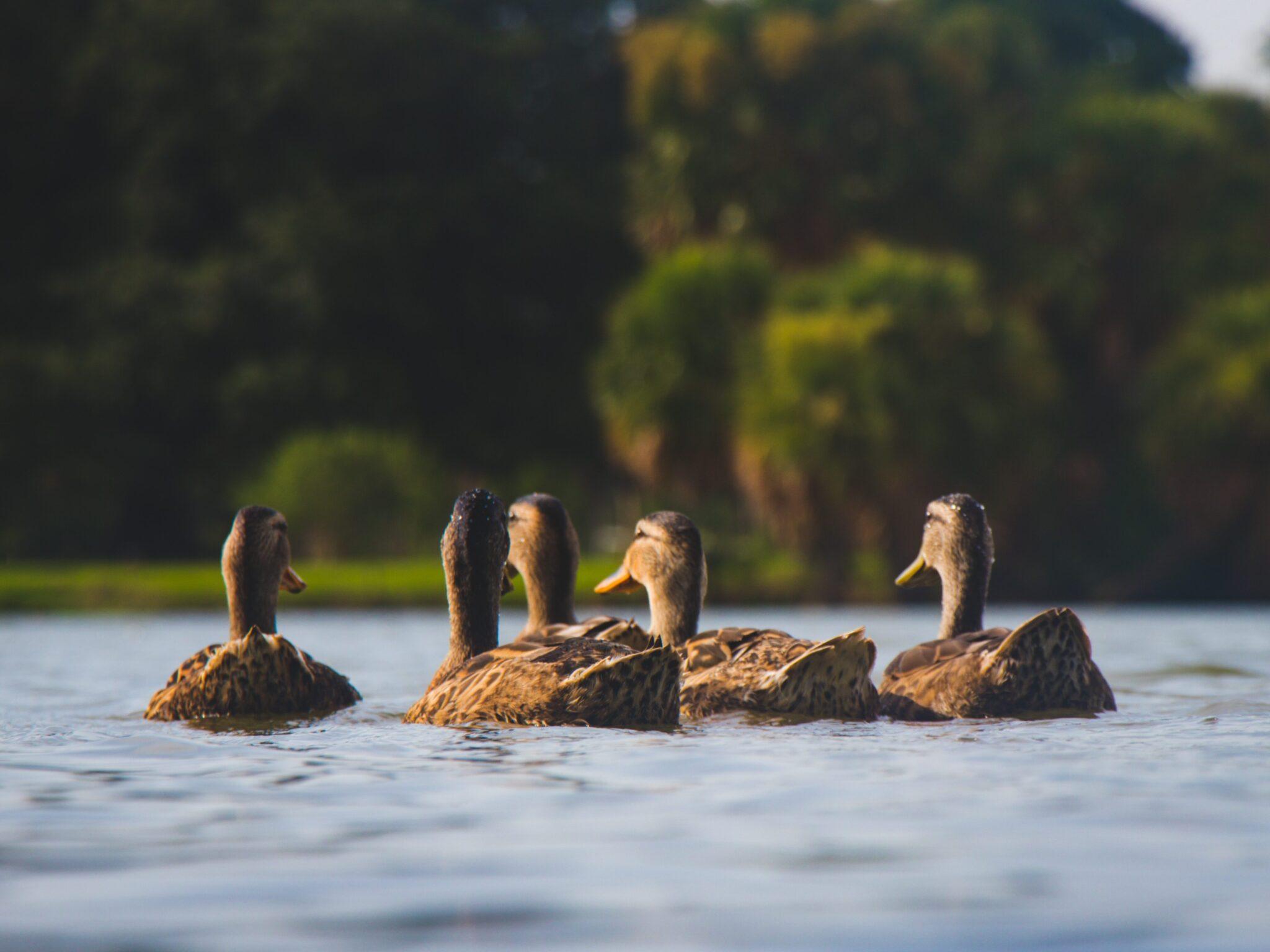 Утки охота
